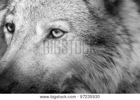 Part Muzzle Of A Gray Wolf Closeup Monochrome Tone