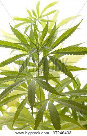 Fresh Marijuana Plant Leaves On White Background