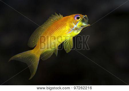 Gape fish - Sea goldie - Anthias -Pseudanthias squamipinnis female