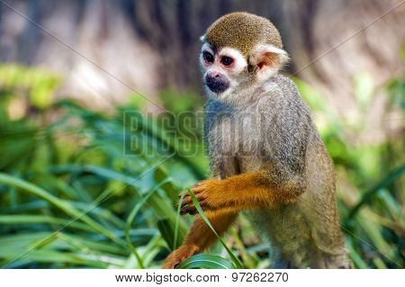 Squirrel monkey - Saimiri sciureus - portrait
