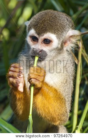 Squirrel monkey - Saimiri sciureus - eating