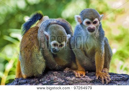 Three friends - Squirrel monkey  - Saimiri sciureus