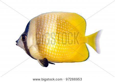 Reef fish isolated on white background. - Chaetodon kleini,Sunburst butterflyfish
