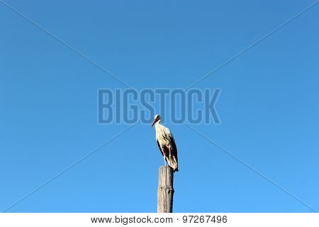 Stork Standing On The Telegraph-pole