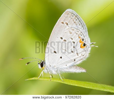 Diminutive Eastern Tailed Blue butterfly resting on a blade of grass against summer green background
