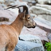 The young horned goat looking forward against rocks poster