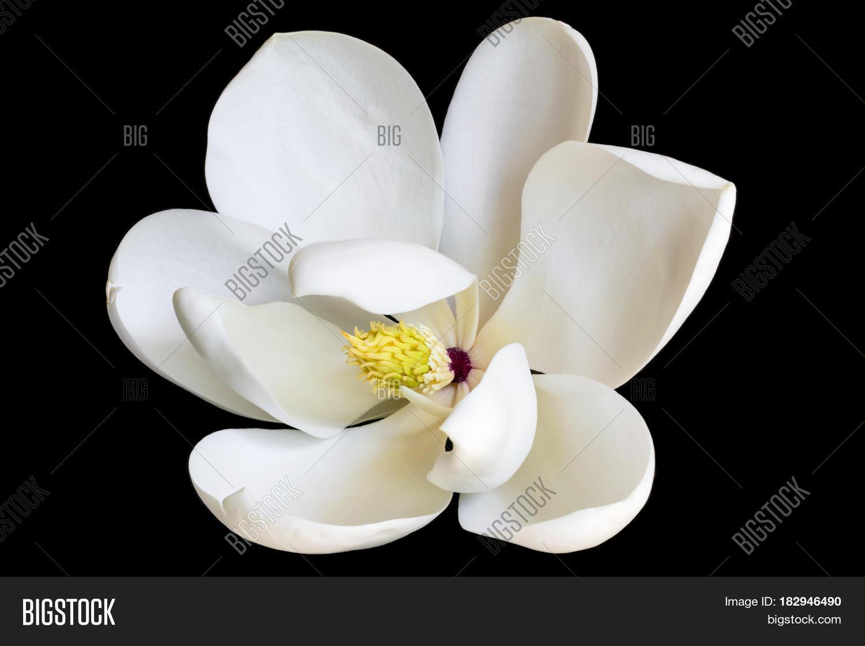 White Magnolia Flower Image Photo Free Trial Bigstock