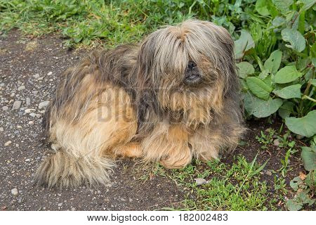 Shaggy homeless dog lies by the road. Pets