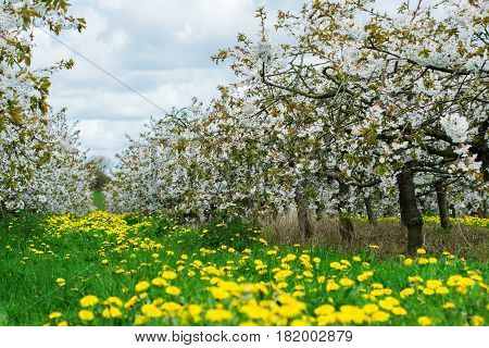 Beautiful Cherry Orchard In Blossom