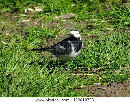 Pied wagtail standing amongt grass in early spring