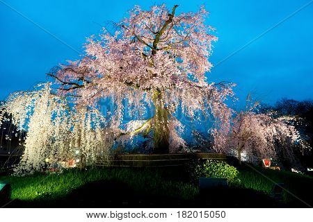 Night view of the famous Maruyama Park in Kyoto Japan and blossoms of a giant sakura tree in Kyoto Japan. Beautiful pink cherry blossoms at nightfall in Kyoto