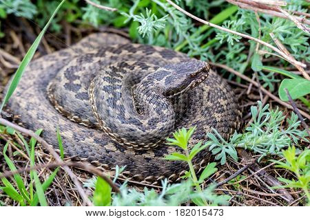 Vipera ursinii or meadow viper also known as adder