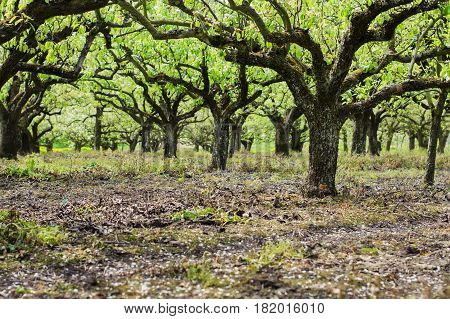 Beautiful Pear Trees In The Rows