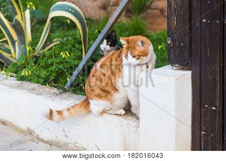 Concept of pets - Orange and white tabby cat with collar outdoor.