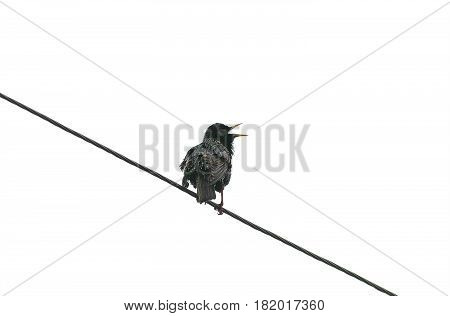 the black bird the Starling sings standing on the wire spring on white isolated background