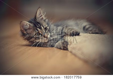 The gray kitten plays on a floor.