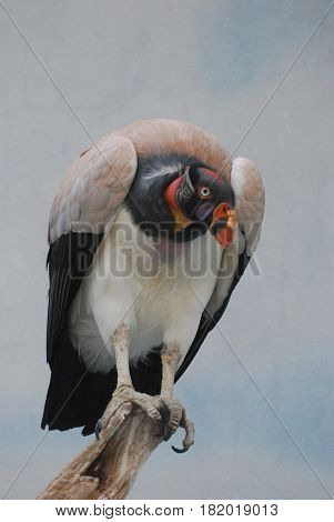 King vulture bird on a dead tree branch.