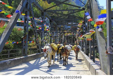 Horse caravan carry luggage across a bridge on the Himalaya Annapurna trekking trail in Nepal.
