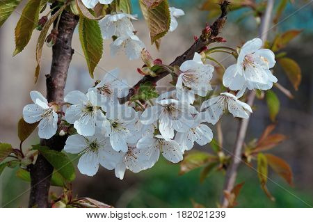 White Pear Blossom on Blurred Greenery Background