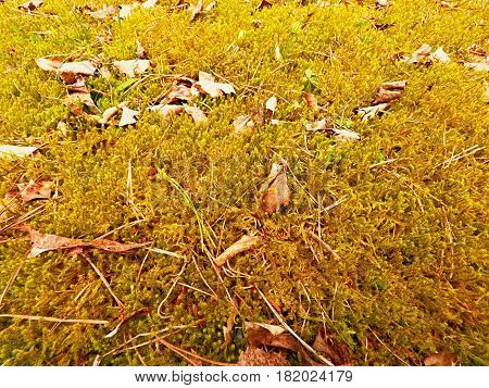 Forest Carpet. Old Leaves On Dry Moss In Forest. Dry Dusty Moss, Dry Pine Needles