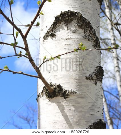 Trunk of birch close up / birch tree trunk / trunk of birch with white bark in spring