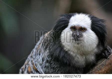 A cute of Common Marmoset or White - eared Marmoset.
