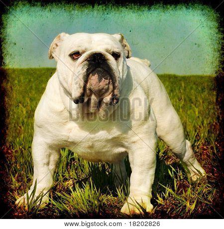 Vintage English Bulldog