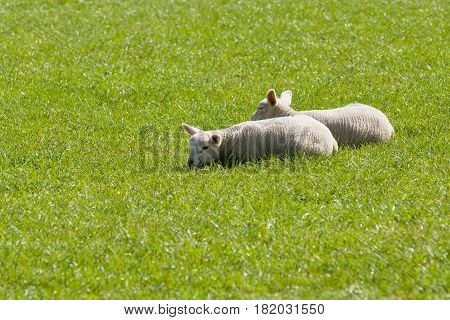 Pair of lambs snuggle together for warmth and comfort in a grassy pasture in rural England