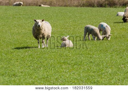 Mother ewe keeps a watchful guard while her single lamb rests in a grassy pasture in rural England