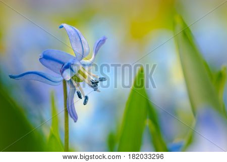 Spring Flowers Background Scilla Flower Close-up with copy space