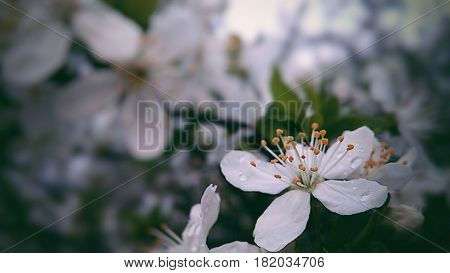 A white flower,  blooming tree,  tree is blossoming, beautiful flower,  springtime nature,  Processed with VSCO with 6 preset