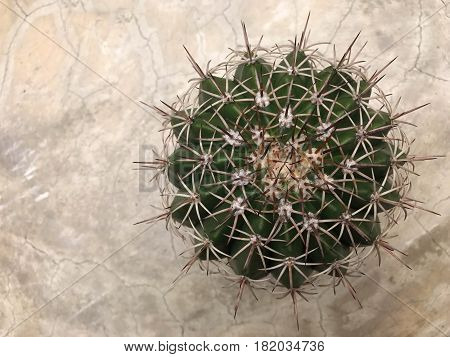 Melocactus on concrete table - top view