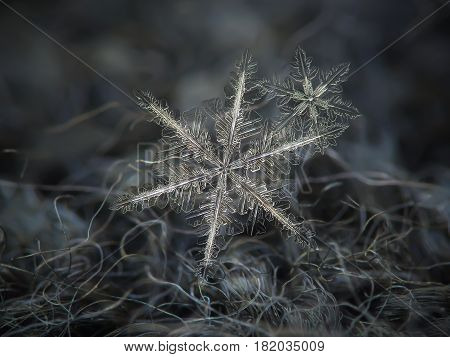 Macro photo of flat cluster with two snowflakes: large snow crystals of stellar dendrite type with elegant structure and fine symmetry, long, ornate arms with lots of small details. Snowflakes glittering on dark gray woolen fabric in diffused light of clo