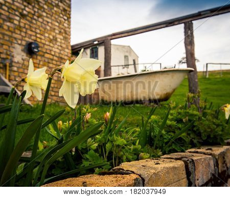 daffodils in a backyard in Patagonia Argentina