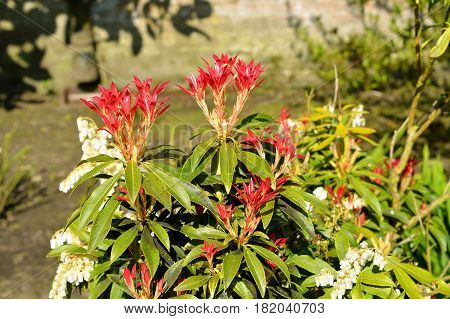 Pieris Forest Flame red leaves in spring