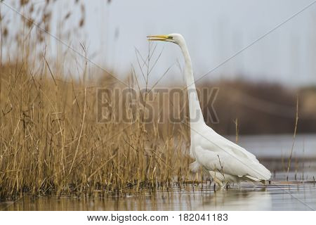 Great Egret in the lake of the Roman coast in Italy