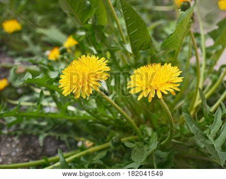 New dandelion plant flowering in springtime close-up