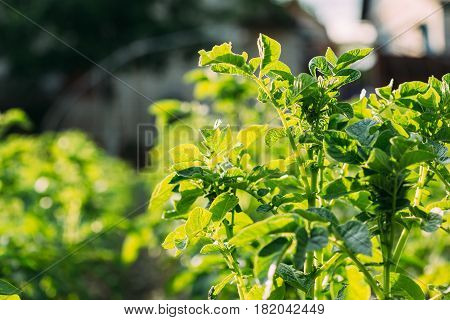 Close-Up View Of The Green Vernal Sprouts Of Potato Plant Or Solanum Tuberosum Growing On Plantation In Sunny Spring Summer.