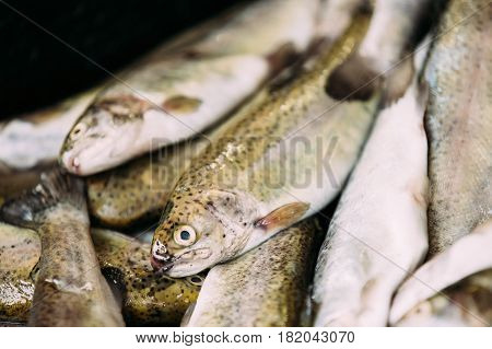 Fresh Black Sea Salmon Fish On Display On Ice On Market Store Shop. Seafood Fish Background. Black Sea Salmon Is A Fairly Small Species Of Salmon. It Inhabits Northern Black Sea Coasts And Inflowing Rivers.