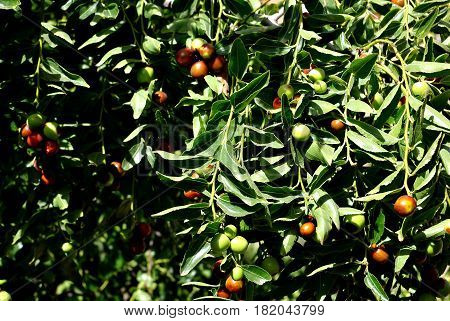 Olives on tree at sunny sumer day.