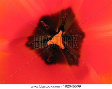 Pistil And Stamen Of A Tulip.