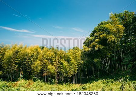 Landscape With Spring Tall Trees Bamboo Woods Under Sunny Blue Sky. Sunlight In Tropical Forest, Summer Nature. Different Deciduous Trees Summer Background. Nobody. Environment Concept.