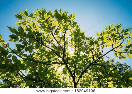 Spring Canopy Of Tall Trees Woods. Sunlight In Tropical Forest, Summer Nature. Upper Branches Of Deciduous Trees At Summer. Nobody. Environment Concept.