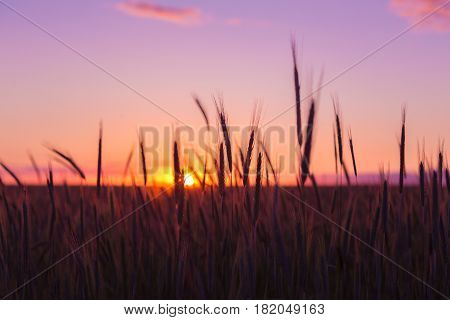 Silhouettes Of Spikelets Of Ripe Wheat Against The Background Of Scenic Country Summer Sunset With Pink, Purple And Yellow Sky.