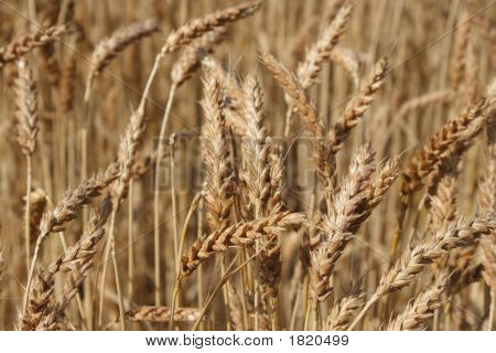 Heads Of Wheat