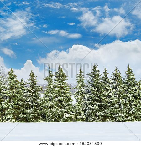 Beautiful winter landscape: a field covered with snow and spruce.