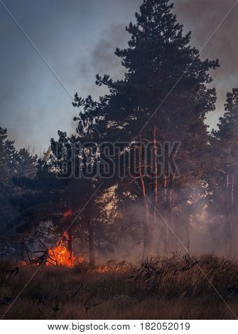 fire. wildfire burning pine forest in the smoke and flames.