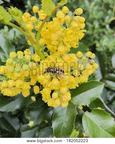 Mahonia aquifolium is a species of flowering plant in the family Berberidaceae