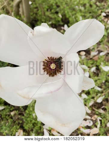 Magnolia is a planting plant in the Magnolia family