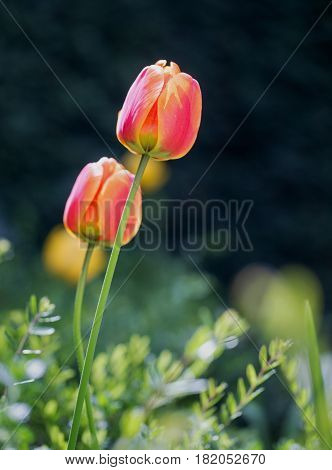 Red and Orange upright tulips growing towards the sun in angular position with a clean background